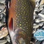 Brook-Trout