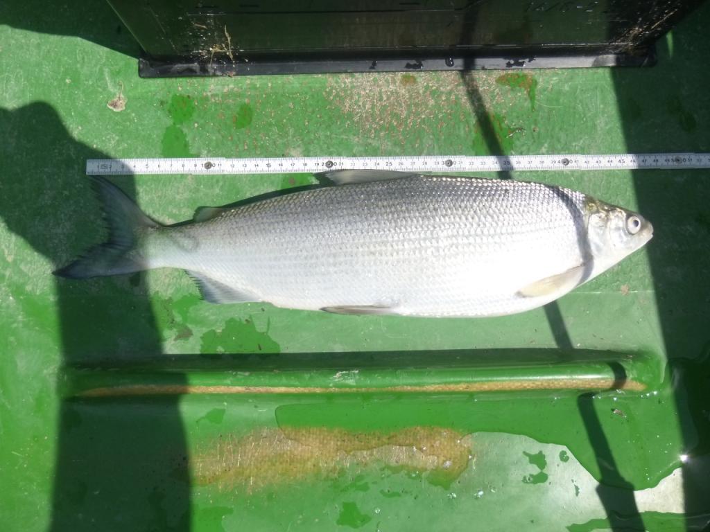 Walchenseerenke, 49cm
