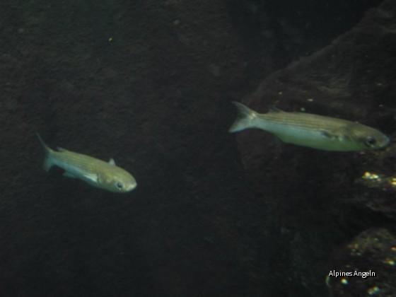 Meeräschen (im IFM-GEOMAR, Kiel)