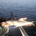 Erster Saibling aus dem Starnberger See