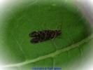 Köcherfliege (Philopotamus)