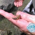 Die grösste Steinfliegenlarve die ich je persönlich gesehen habe...