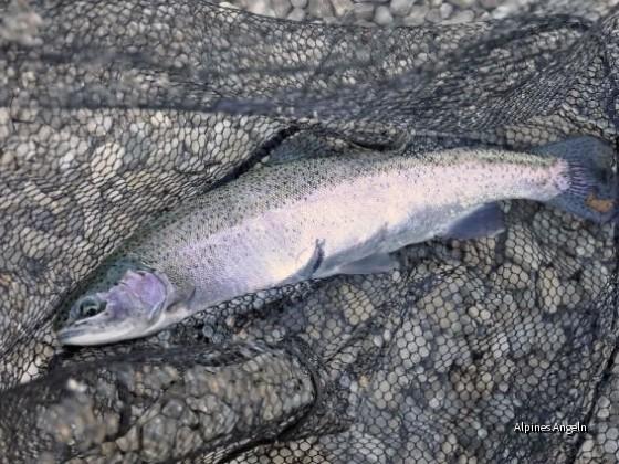 Regenbogenforelle 51 cm v. Walchensee